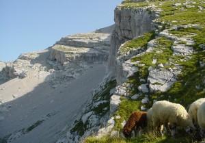 Pecore sul Col Nudo (foto Hugues De Prà ©)